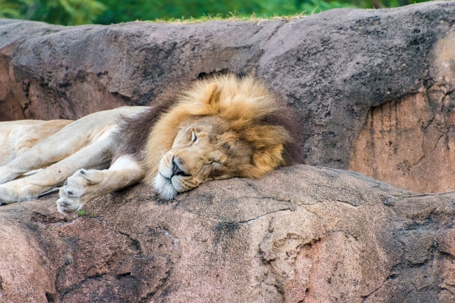 Close up of a Lion's head sleeping on a rock