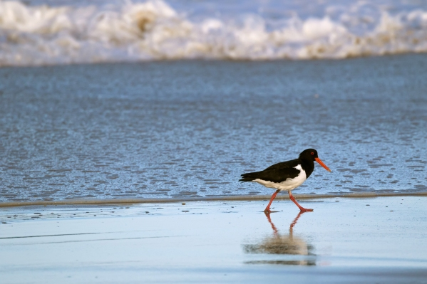 Pied Oystercatcher bird in black white with long red orange bill