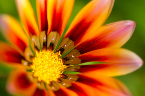 Gerbera orange flower close up on natural green background horizontal view