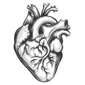 Human heart drawn in engraving style isolated on a white background