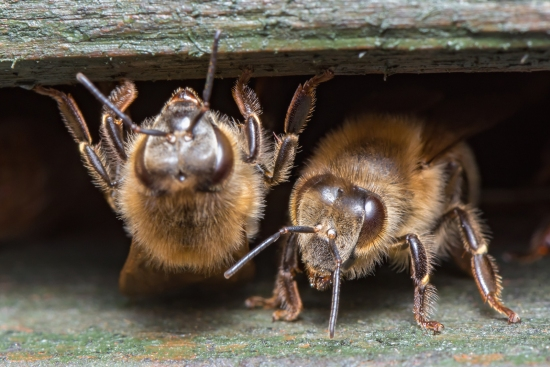 Honey Bees ( Apis Mellifera )- Detail Close Up - Macro